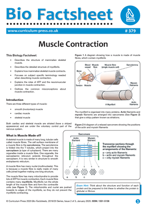 379 Muscle Contraction v2